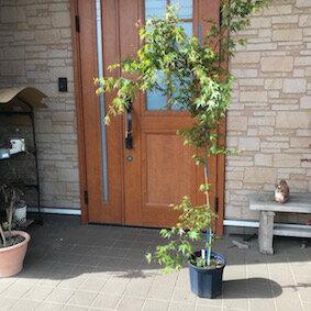 玄関先に ベランダに 置くだけ! イロハモミジ 8号 カラー鉢 シンボルツリー 綺麗 植木 庭木 ガーデニング 紅葉 アクセント