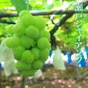 お試し 瀬戸ジャイアンツ 2-3房(合計1kg以上) 簡易包装 家庭用 葡萄 ぶどう ブドウ ギフト【岡山果物工房】9月上旬…