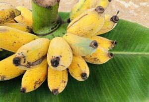 沖縄県産ぐしちゃん銀バナナ 約1kg(送料込)ぐしちゃん 銀バナナ 沖縄県産 お土産 プレゼント