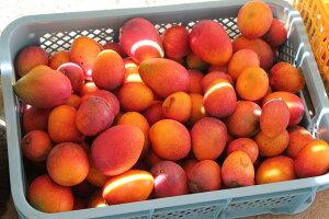 訳あり 完熟マンゴー 約5kg ☆送料無料 ☆ 楽天内最安値 発送7月上旬〜8月下旬 たっぷり食べよう! アップルマンゴー