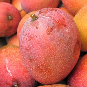 完熟マンゴー 約1.5kg JAおきなわ選果マンゴー 発送7月初〜8月中旬 ☆送料無料☆ ご家庭ランクのマンゴーです。