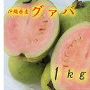 グァバ 約1kg 【発送7月下旬〜9月】 沖縄産 赤・白どちらになるかはお任せになります。 【沖縄産 グアバ トロピカルフ…