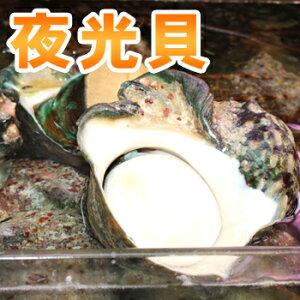 夜光貝身のみ(1〜1.5kg)