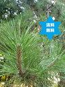 赤松葉粉末・500g赤松葉パウダー・国産徳島・無添加・栽培期間中農薬不使用・高圧蒸気滅菌末・送込(2個注文時500g2個…