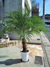 フェニックスロベレニー 8号(104:シンノウヤシ)観葉植物 新築祝い 開店祝い 東京オリンピックの記念樹 ドライガーデン