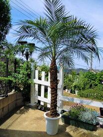 フェニックスロベレニー 9号(シンノウヤシ)令和の記念樹 観葉植物 インテリア 開店祝い 新築祝い シンボルツリー