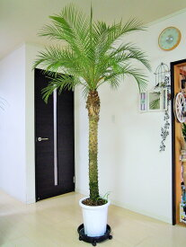 フェニックスロベレニー(シンノウヤシ)10号 LLサイズ 令和の記念樹 インテリア 観葉植物 新築祝い 開店祝い ギフト シンボルツリー