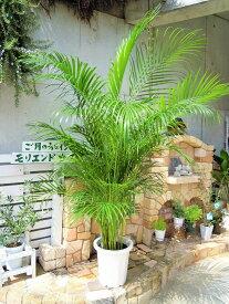 アレカヤシ 10号 東京オリンピックの記念樹 インテリア 観葉植物 新築祝い 開店祝い ギフト リゾートグリーン