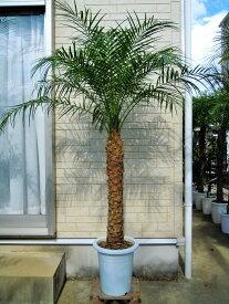 フェニックスロベレニー 9号Mサイズ (シンノウヤシ) 東京オリンピックの記念樹 観葉植物 インテリア 開店祝い 新築祝い シンボルツリー ドライガーデン