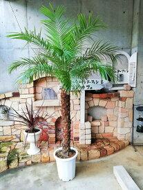 フェニックスロベレニー(シンノウヤシ)10号 Mサイズ 東京オリンピックの記念樹 インテリア 観葉植物 新築祝い 開店祝い ギフト シンボルツリー ドライガーデン