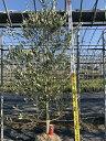 オリーブの木 ルッカ 全長2.2m 送料無料 現品発送