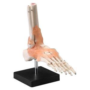 【代引き不可】人体模型シリーズ 足関節模型
