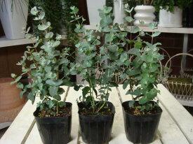ユーカリの木 苗(ポット) 3ポットお買い得セット販売♪大きく育てて自分流のガーデニングに仕上げて下さい♪立派に育ててシンボルツリーに仕上げてください♪植え替え・寄せかご・寄せ植えなどに♪グニーユーカリ