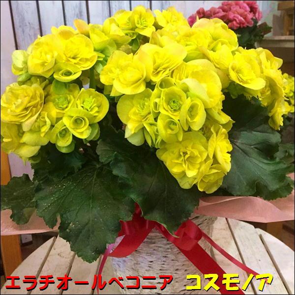 最短お届け商品!取り置き不可!リーガスベゴニア コスモノア 5号鉢植え 籐カゴ&ラッピング&リボン付き幸福の黄色の花でとても豪華なイメージです♪フラワーギフト 人気品種 数量限定 ポイント中 送料無料 エラチオールベゴニア リーガースベゴニア 花鉢