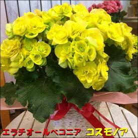 リーガスベゴニア コスモノア 5号鉢植え 籐カゴ&ラッピング&リボン付き幸福の黄色の花でとても豪華なイメージです♪フラワーギフト 人気品種 数量限定 ポイント中 送料無料 エラチオールベゴニア リーガースベゴニア 花鉢