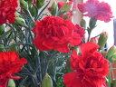 カーネーション 母の日 ギフト特集ご予約鉢花真っ赤なカーネーション 赤 毎年の恒例♪5号鉢植え♪籐カゴ&ラッピングシート♪プレゼントに喜ばれます♪楽ギフ_包装 楽ギフ_メッセ入力フラワーギフト 人気品