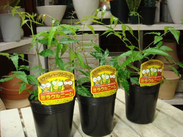 【節電対策】ミラクルニームの木 苗木♪3ポットお買い得セット販売 自分流に仕上げて下さい♪【害虫対策・防虫効果・虫よけ】