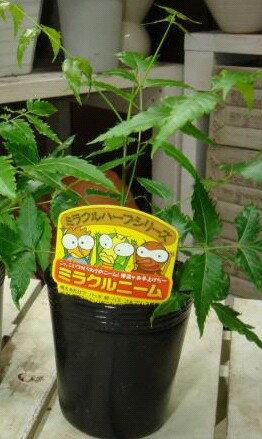 【節電対策】ミラクルニームの木 3.5号苗♪自分流に仕上げて下さい♪【害虫対策・防虫効果・虫よけ】完全路地養生済み
