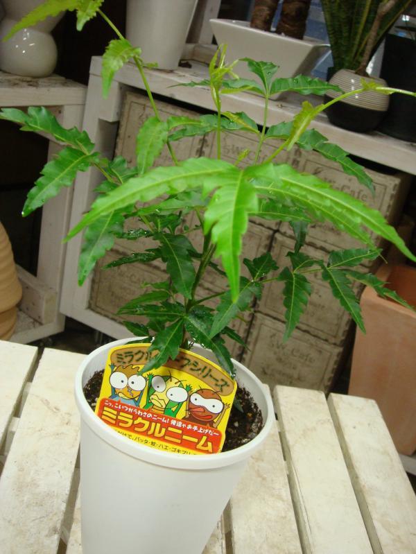 【節電対策】ミラクルニームの木♪4号鉢植え 自分流のガーデニングに仕上げて下さい♪植え替え・寄せかご・寄せ植えなどに♪【害虫対策・防虫効果・虫よけ】