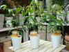 ミラクルニームの木♪お得な3鉢セット販売