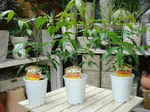 【節電対策】ミラクルニームの木♪4号鉢植え お得な3鉢セット販売【害虫対策・防虫効果・虫よけ】エディブルフラワー(食用花)にも活用されています