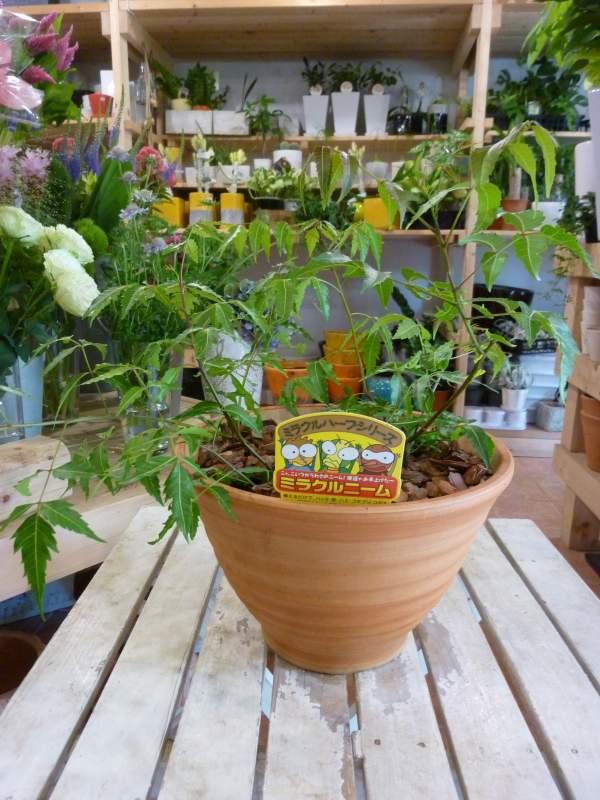 ミラクルニームの木 陶器鉢植え プラスチック鉢では味わえない清潔オシャレ仕上げ送料無料 楽ギフ_包装 楽ギフ_メッセ入力