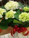 今年は白がオススメ 西洋アジサイ(紫陽花) シュガーホワイト 純白ホワイトシリーズ 5号鉢植え 籐カゴ&ラッピングシート&リボン楽ギフ_包装 楽ギフ_メッセ入力フラワーギフト フリーメッセージ 花 お