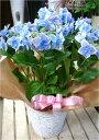 西洋アジサイ(紫陽花)ハイドランジア♪コンペイトウ ブルー♪5号鉢植え 籐カゴ&ラッピング&リボン付き楽ギフ_包装 楽ギフ_メッセ入力フラワーギフト フリーメッセージ 数量限定 ポイント中 花 お届け
