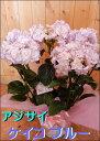 さかもと園芸 高級アジサイ 八重咲き ケイコ ブルー フラワーオブザイヤー受賞 5号鉢植え 籐カゴ&ラッピング&リボン楽ギフ_包装 楽ギフ_メッセ入力フラワーギフト フリーメッセージ ポイント中 花