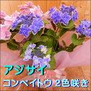 遅れてごめんね 母の日 西洋アジサイ(紫陽花)ハイドランジア♪コンペイトウ 2色咲き♪5号鉢植え 籐カゴ&ラッピング&リボン付き楽ギフ_包装 楽ギフ_メッセ入力フラワーギフト フリーメッセージ ポイン