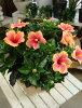 【送料無料】夏の代表♪大株仕上げのハイビスカスミセスユミテラコッタ陶器鉢