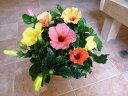 ハイビスカス 大株仕上げ 人気のアソート(ミックス系)寄せ植え テラコッタ陶器鉢植え♪今日は何色が咲くかな〜♪花のおみくじを♪テ…