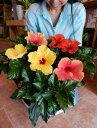 【サマーギフト 夏の季節 送料無料】ハイビスカス 大株ボリューム仕上げ 人気のアソート(ミックス系)寄せ植え プラスチック鉢植えで…