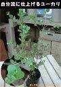 ユーカリ グニー 3号苗(ポット) 大きく育てて自分流のガーデニングに仕上げて下さい♪植え替え・寄せかご・寄せ…