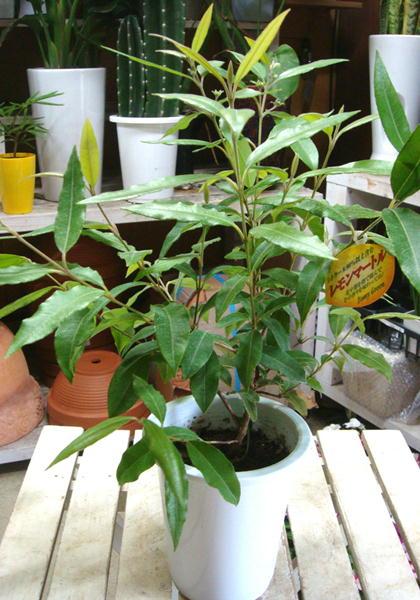 レモンマートルの木 5号鉢 大きく育てて自分流のガーデニングに仕上げて下さい♪植え替え・寄せかご・寄せ植えなどに♪シトラール効果♪ストレス解消効果 リラックス効果 不眠症改善 ハーブティーで美肌作用 美容効果