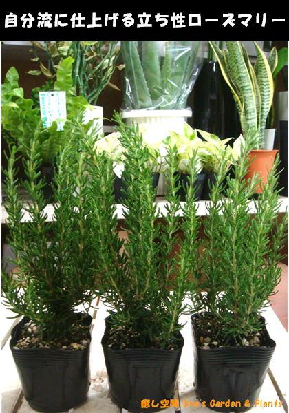 立ち性ローズマリー 3株お買い得セット販売大きく育てて自分流のガーデニングに仕上げて下さい♪植え替え・寄せかご・寄せ植えなどに♪