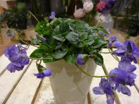 パルマスミレ ニオイスミレ(八重咲き) 3.5号鉢植え自分流のガーデニングに仕上げて下さい♪植え替え・寄せかご・寄せ植えなどに♪