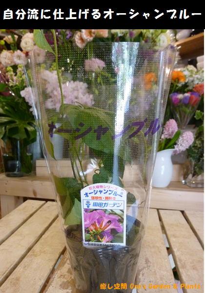 2018年度版最終販売です オーシャンブルー(大輪系琉球朝顔) 3.5号苗 自分流のガーデニングに仕上げて下さい♪宿根草・房咲き・終日咲きです♪早めに植えて成長させると夏には遮光ネット効果になります