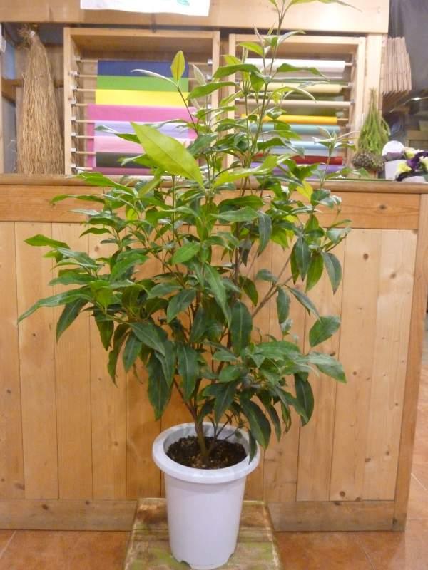 レモンマートルの木 6号鉢植え シトラール効果♪大きく育てて自分流のガーデニングに仕上げて下さい♪植え替え・寄せかご・寄せ植えなどに♪