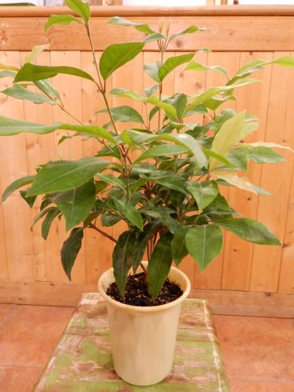 レモンマートルの木 4号鉢植え大きく育てて自分流のガーデニングに仕上げて下さい♪シトラール効果♪ストレス解消効果 リラックス効果 不眠症改善 ハーブティーで美肌作用 美容効果葉を1枚切ってもみほぐすと凄く良い香り♪