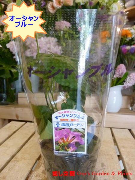 【2019年度版販売】オーシャンブルー(大輪系琉球朝顔) 3.5号苗自分流のガーデニングに仕上げて下さい♪宿根草・房咲き・終日咲きです♪早めに植えて成長させると夏には遮光ネット効果になります♪室内温度の低下効果