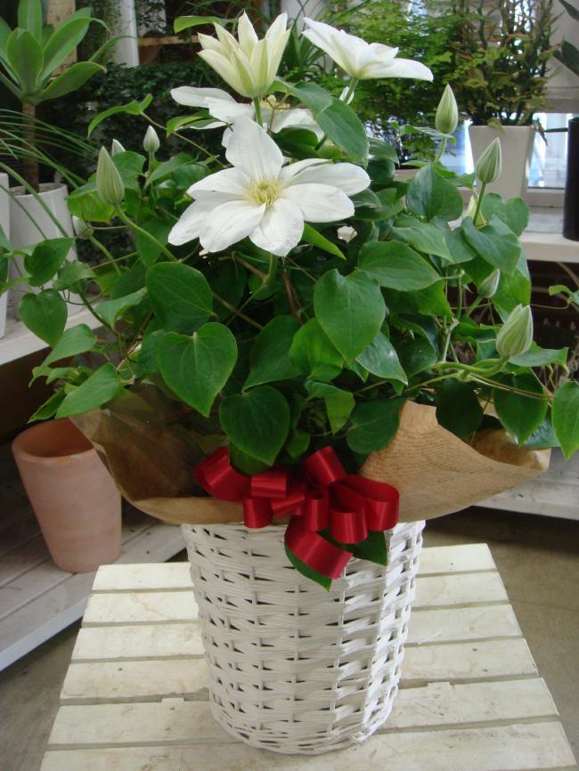 母の日 ギフト クレマチス 白雪姫 ホワイト 6号鉢植え 籐カゴ&ラッピング&リボン付き今年はプレゼントに喜ばれる白がオススメ♪フラワーギフト 花鉢地植えしますと来年も楽しめます♪【2019母の日特集 鉢花 早割 送料無料】