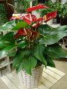 アンスリューム レッド系(赤色)6号鉢植え スタイリッシュな観葉植物♪ハートの葉っぱにハートのお花♪フラワーギフト/お誕生日【楽ギフ_包装】【楽ギフ_メッセ入力】フラワーギフト 数量限定 ポイント中