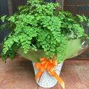アジアンタム フラグランス♪ふわふわ可愛い葉♪シンプルの籐カゴ(バスケット入り)タイプのお得セット価格ちょっとしたお祝い・誕生…