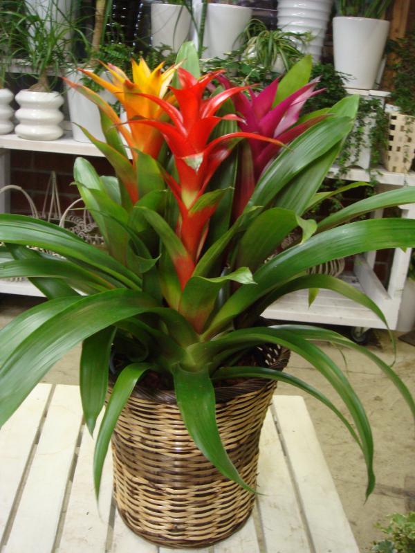 グズマニア 3色カラーの寄せ植え♪癒し空間♪室内に温もりを♪6号 籐カゴ(バスケット入り)付きのお得セット価格♪楽ギフ_包装 楽ギフ_メッセ入力フラワーギフト 贈り物 送料無料 ギフト特集 観葉植物