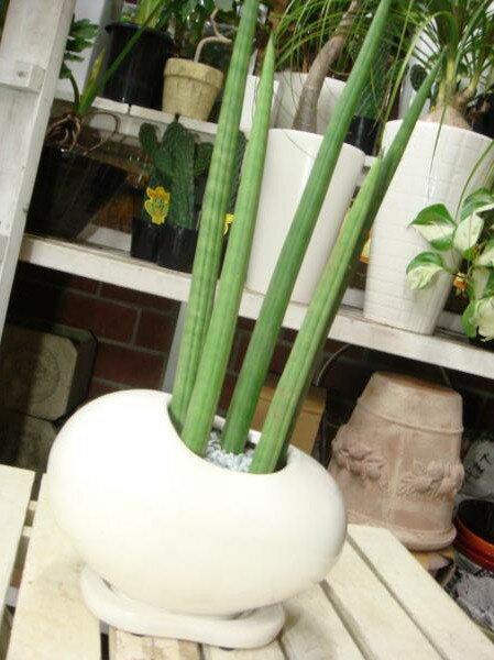 【ミニ観葉植物】【楽ギフ_包装】【楽ギフ_メッセ入力】サンスベリア スタッキー♪ツヤ有り・受け皿付き・タマゴ型の陶器鉢