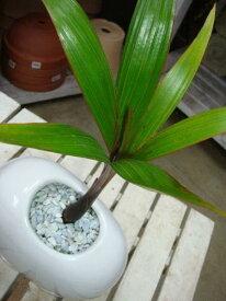 金運アップのトックリヤシ(徳利椰子・ボトルパーム)♪インテリアタマゴ型陶器鉢 受け皿付きスタイリッシュな観葉植物♪オシャレ仕上げのオリジナル♪