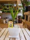 金運アップのトックリヤシ(徳利椰子・ボトルパーム)♪スタイリッシュな観葉植物♪ホワイトインテリア陶器鉢【受け皿…