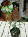 ミクロフィラ ソフォラ プロストラータ リトルベイビー ポット(苗)小さい葉っぱが可愛い♪自分流の室内空間に植え替えして仕上げて…