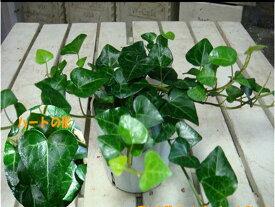 アイビー(ヘデラ) サーク(ハートの形の葉っぱ)ポット(苗)自分流の室内空間に植え替えして仕上げて下さい♪アジアンチックやモダン風・トロピカル風のインテリア寄せ植えなどにも♪大きく育てて下さい♪